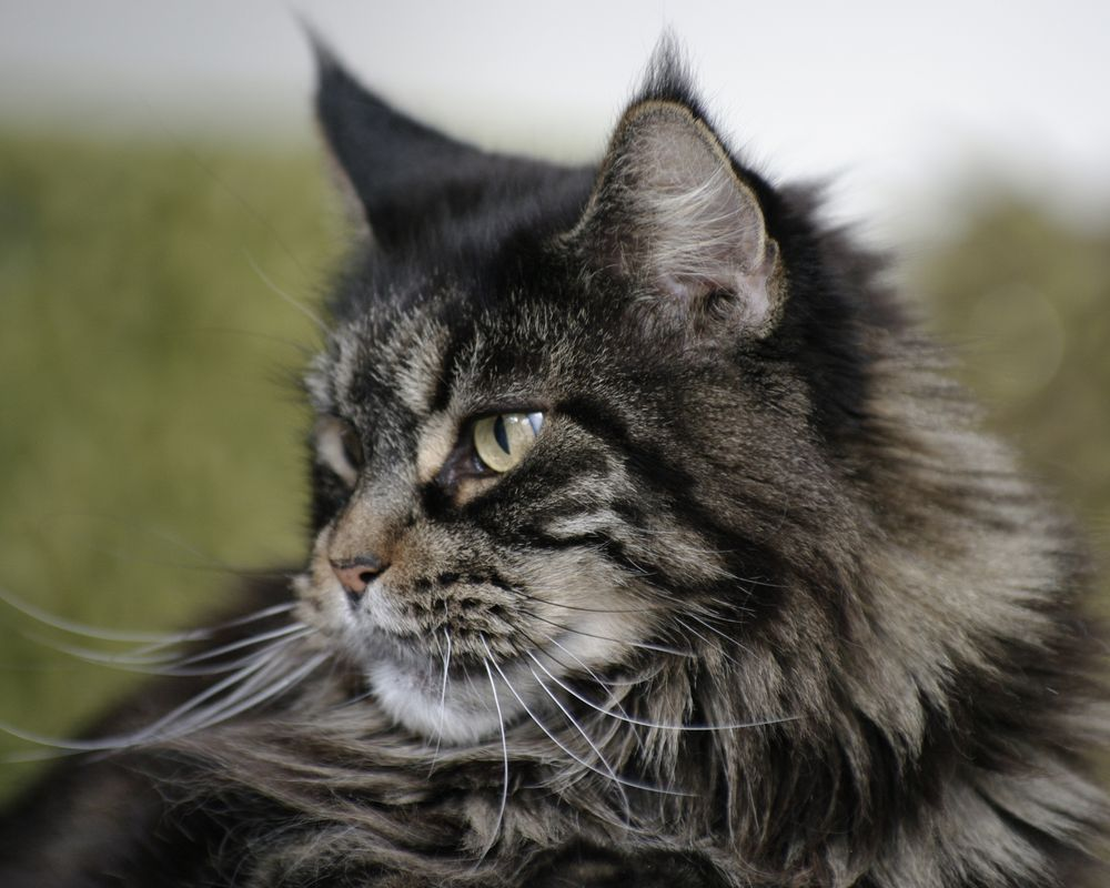 Кошки и рыси майкуны черно белое фото