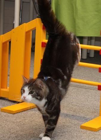 Как можно дрессировать котенка в домашних условиях