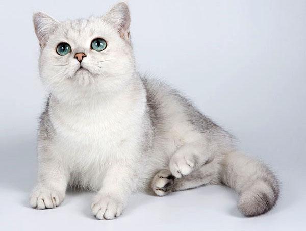 Британский вислоухий кот и глаза