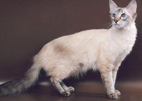 Балинезийские коты цена