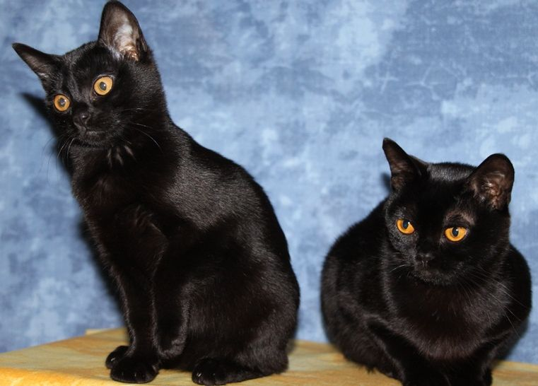 кошка-кошка фото и цена
