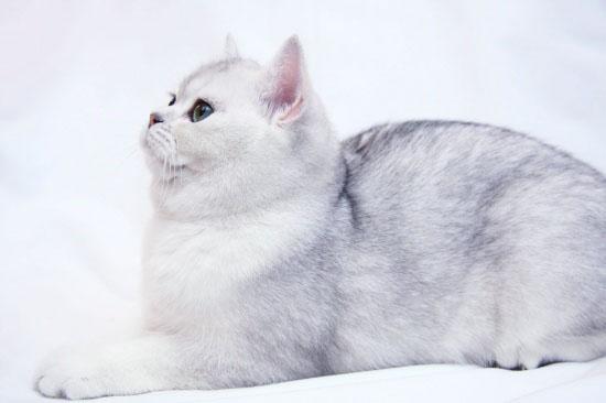 Коты породы плюшевых