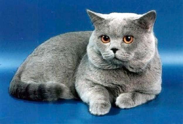 котята плюшевые британские фото