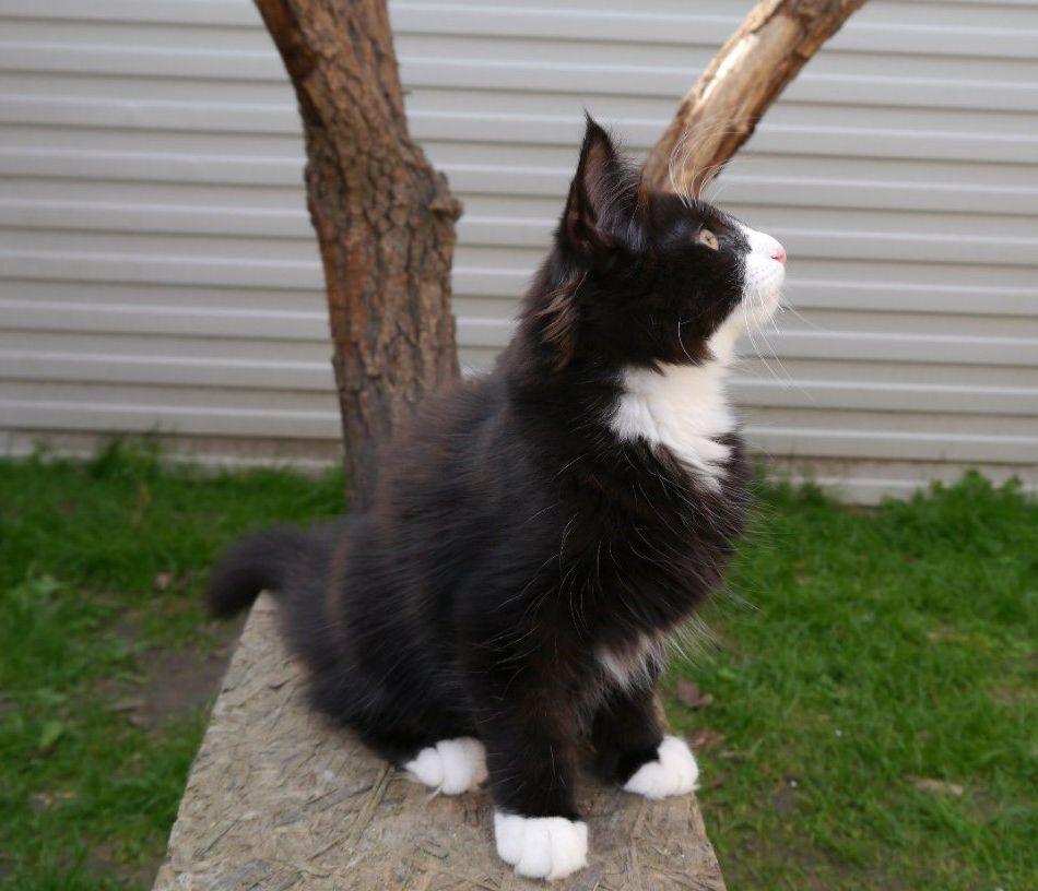 норвежская лесная черно белая кошка