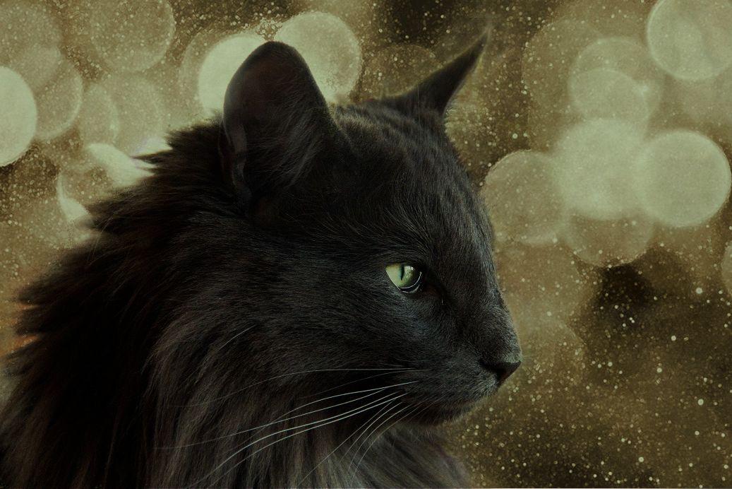 Норвежский чёрный лесной кот