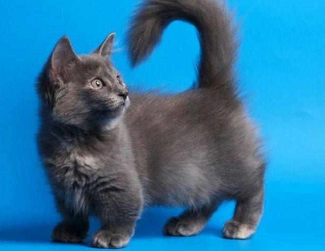Цена породы котов манчкин