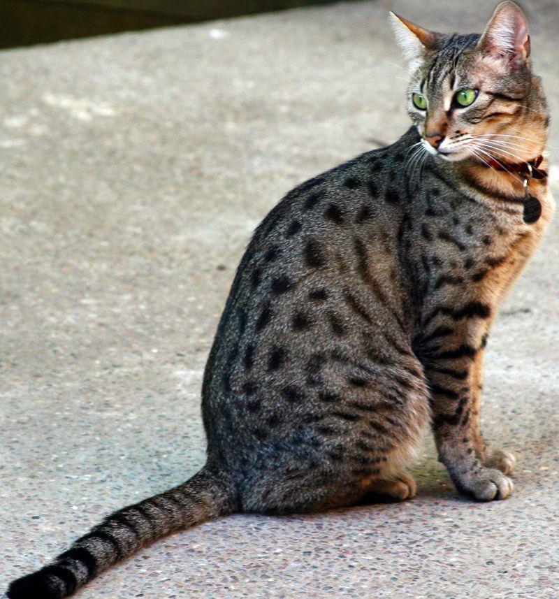 Egyptian Cat Breeds