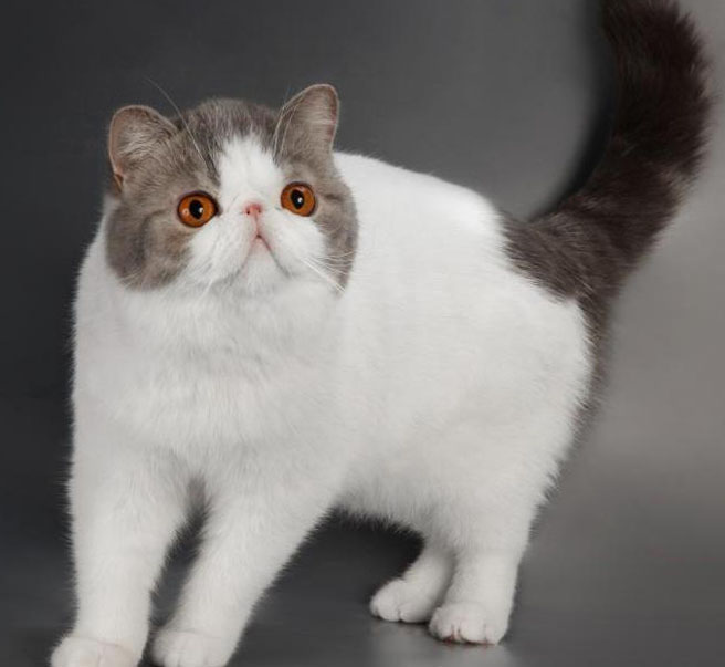 с кошки фото экзотической окрас