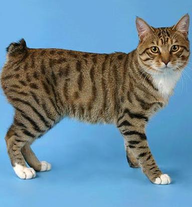 фото кошка породы бобтейл