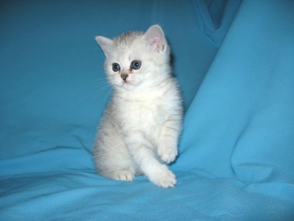 Шотландский вислоухий голубой кот