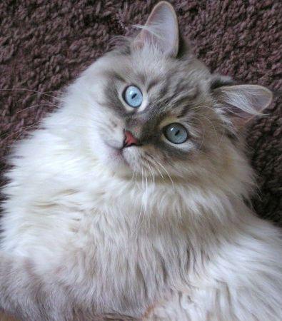 Коты маскарадные питерские