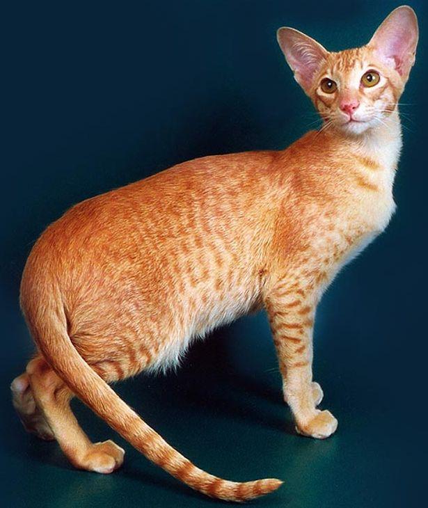 кошка ориентальная фото и цена