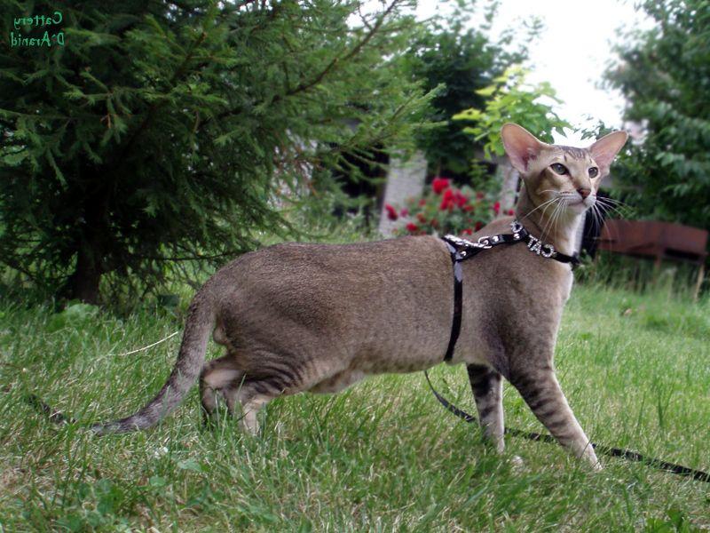ориентальная кошка описание характера