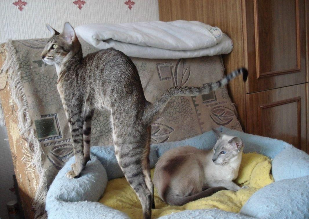 ориентальные кошки размеры
