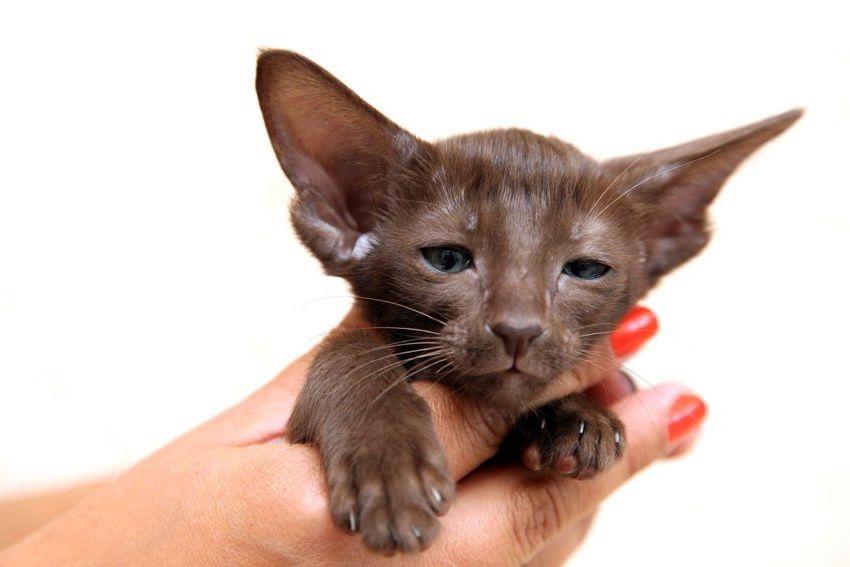 котята ориентальной породы фото