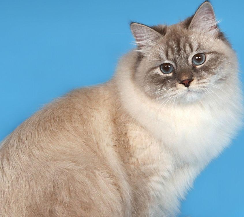 Порода кошек сибирская маскарадная фото