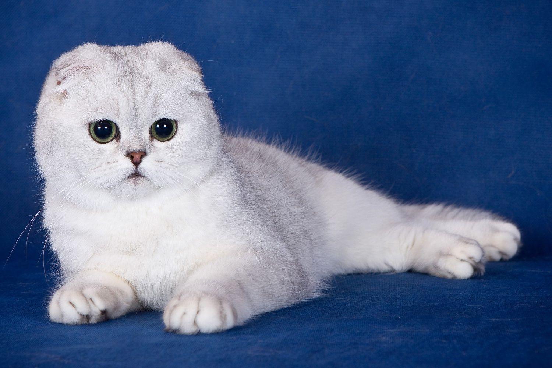 кошки шотландцы вислоухие фото