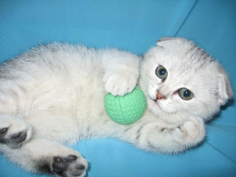 белые вислоухие котята фото