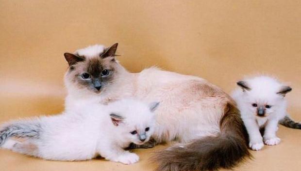 котята бирманские фото