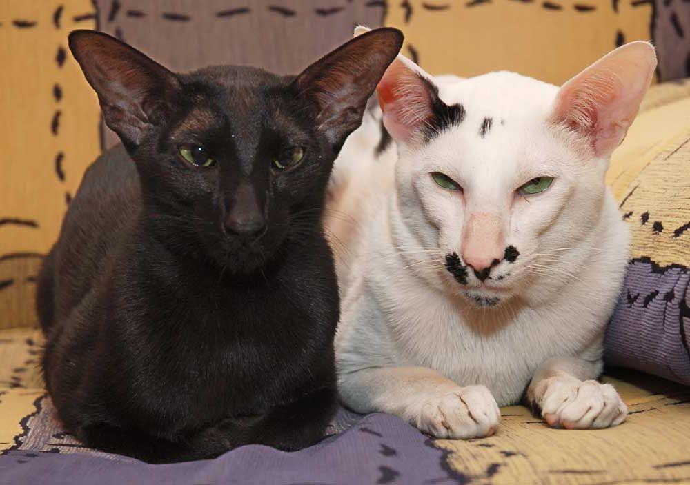 Ориентальные кошки коты
