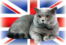 Британские кошки и коты