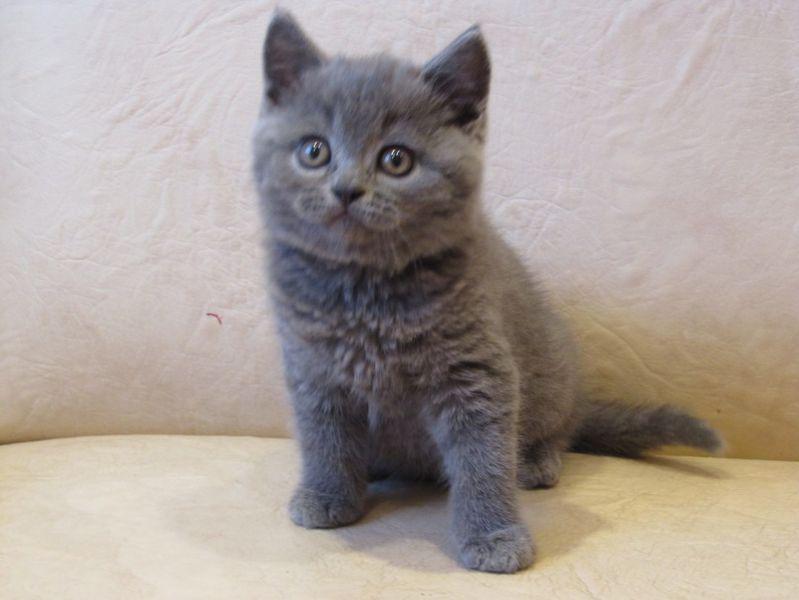 котята шотландские фото
