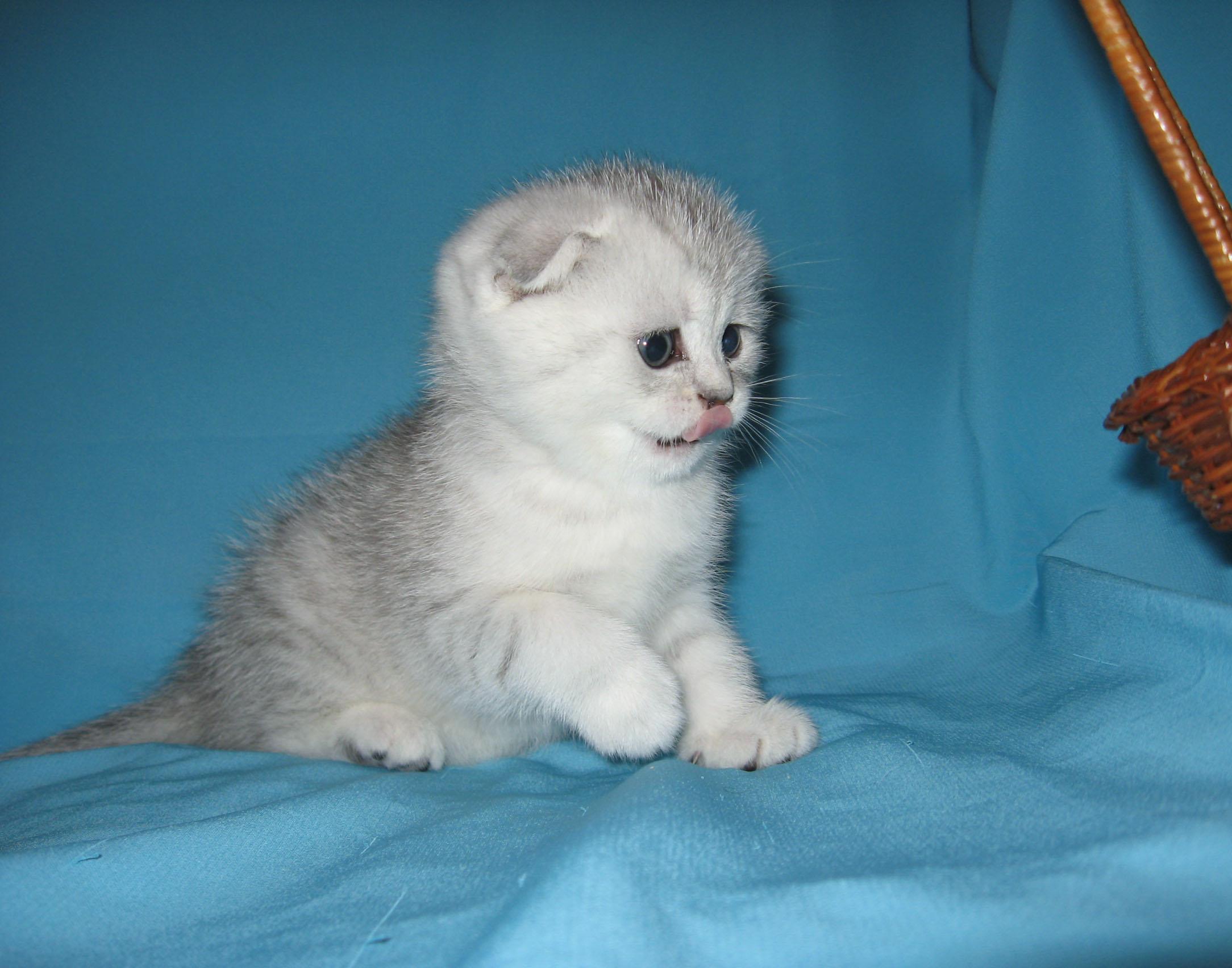 Сиамская кошка  Википедия