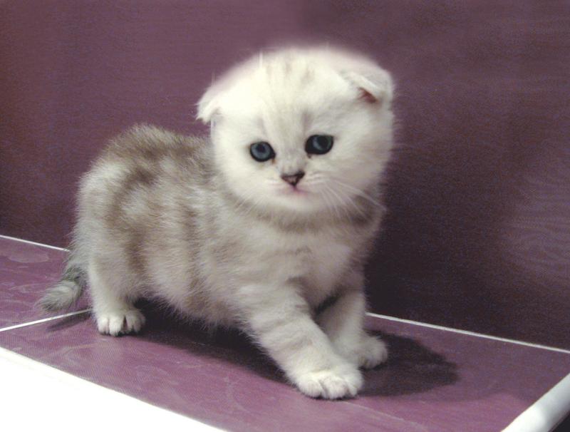 вислоухие коты по дням и неделям фото что