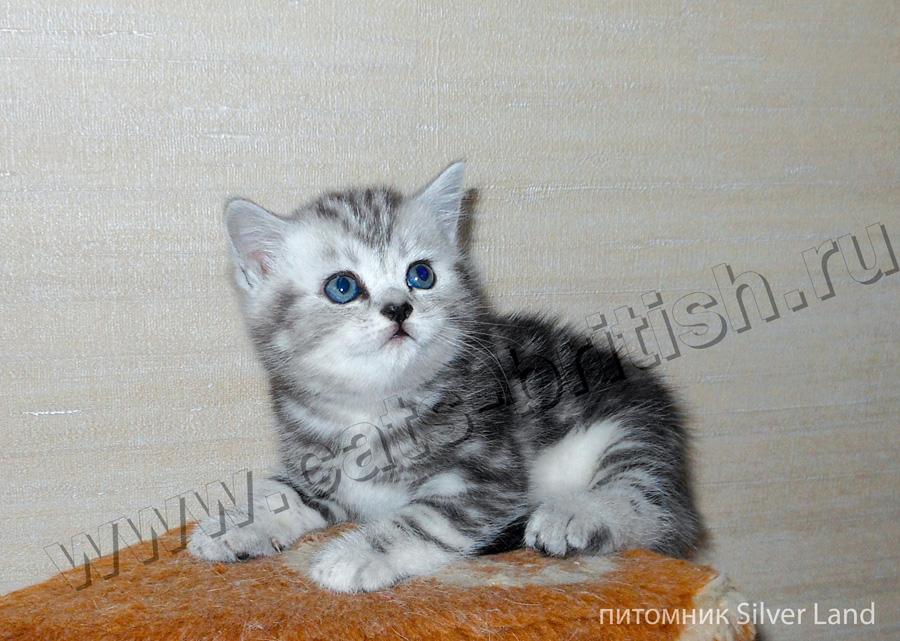фото котята шотландский