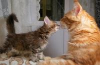 Мейн-кун с другими кошками