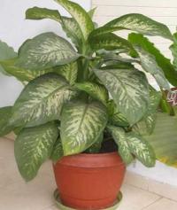 ядовитое растение для кошек - Диффенбахия