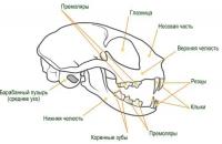 строение головы кошки