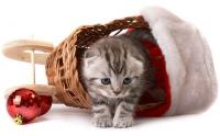 как уговорить завести котенка