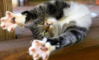 строение лап кошки