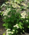 полезное растение для кошек - Пиретрум девичий