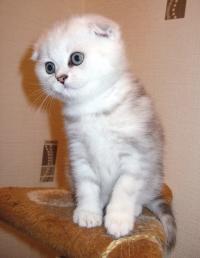 продажа вислоухих котят
