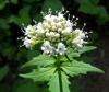 полезное растение для кошек - Валериана