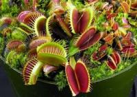безопасное растение для кошек - Венерина мухоловка