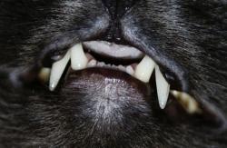определение возраста кошки по зубам