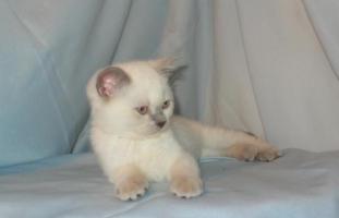 Котята колор-пойнт, белые котята с голубыми глазами ...: http://www.cats-british.ru/kotyata-kolor-point