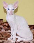 ориентальная кошка окрасы фото