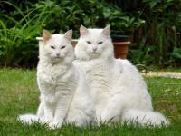 норвежская лесная кошка белая