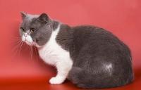 котенок  биколор