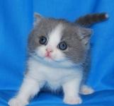 британский котенок биколор