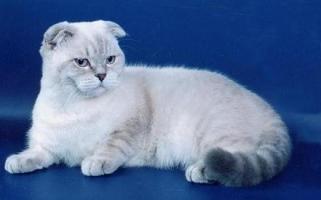 кот блю-пойнт