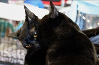 бомбейский кот для вязки