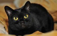 бомбейская кошка характеристика