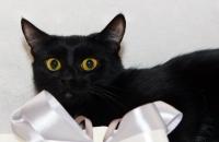 бомбейская порода кошки