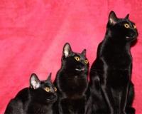 бомбейская кошка фото цена