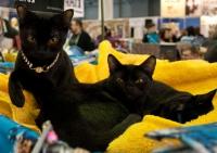 бомбейская кошка продажа